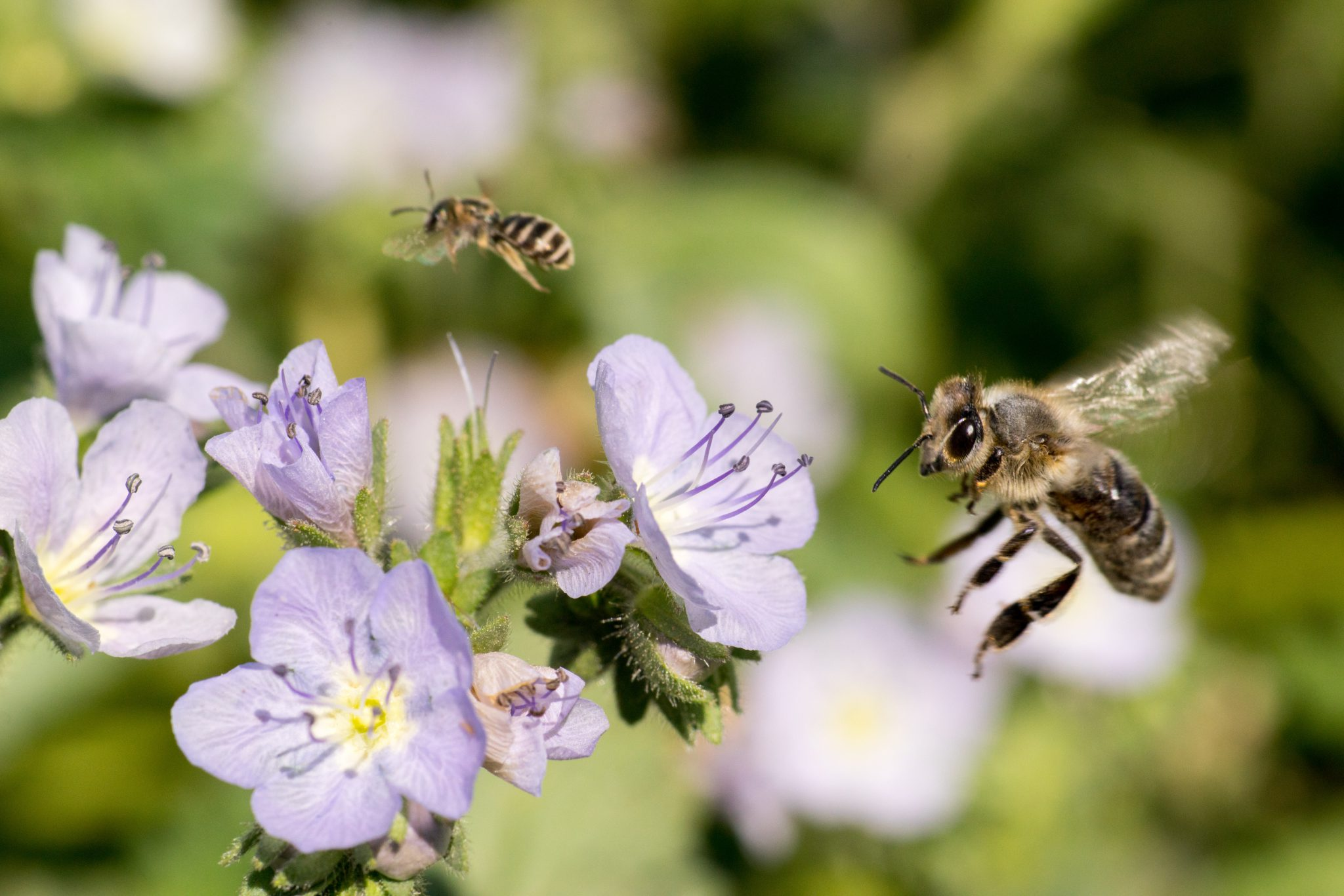 Here's how to attract helper bugs to your organic farm: grow some native plants