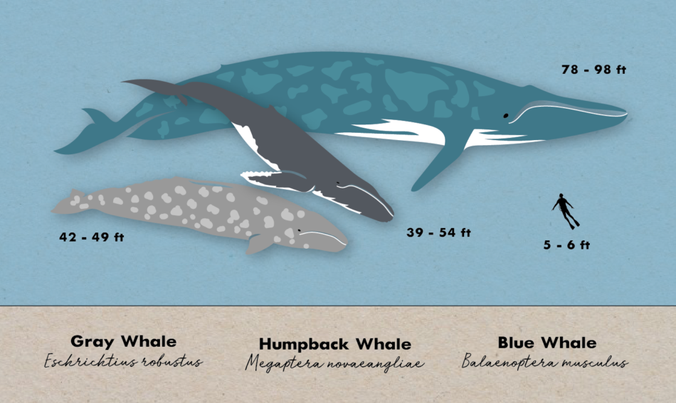 Department of Biology : University of Rochester  |Blue Whales Compared To Humans
